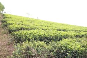 Colline thé